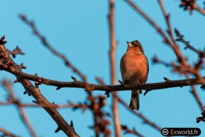 Fringilla-coelebs-at-sunset