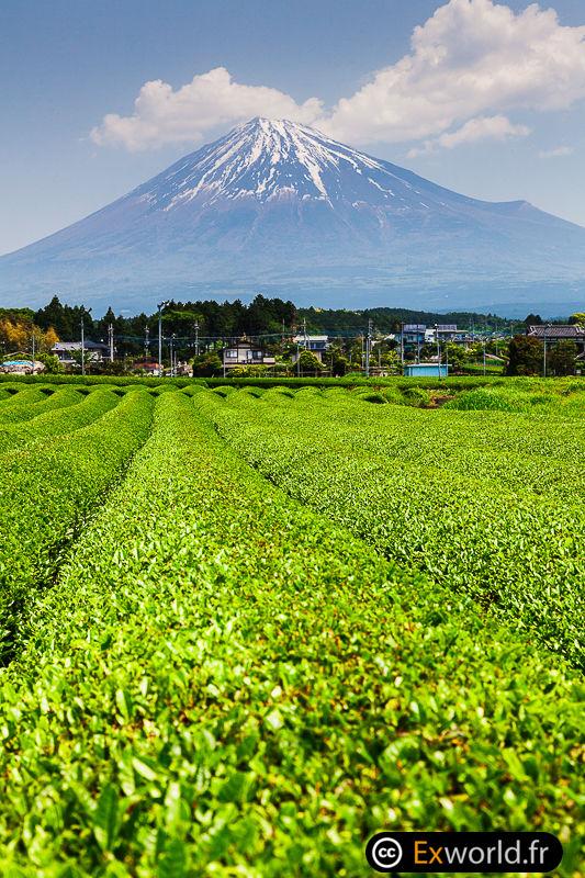 Fuji san chabatake