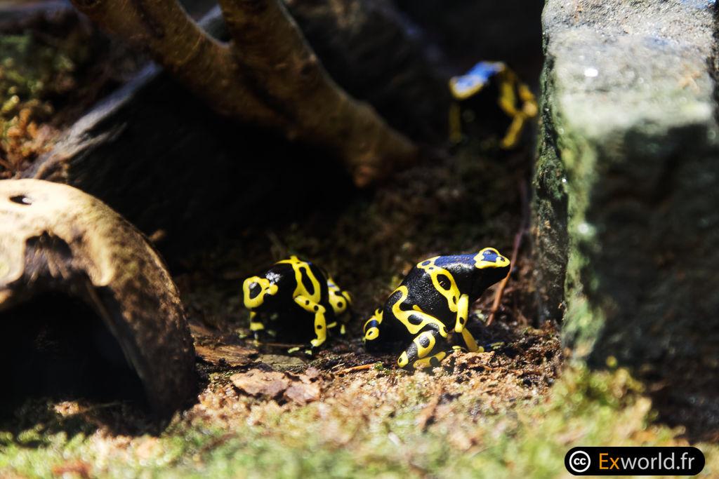 Dendrobate jaune et noir