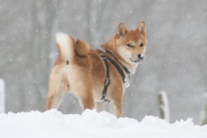 Kuri à la neige