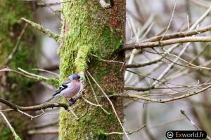 Fringilla coelebs in the wood