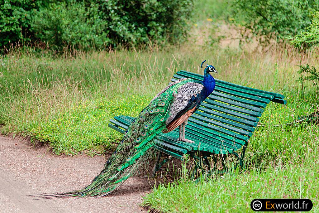 Paon sur le banc