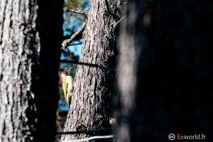 Picus viridis