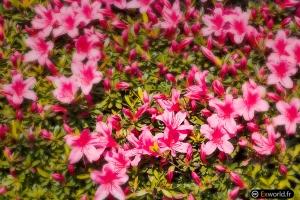 Pink Kanda